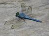 Eastern Pondhawk, Estero Llano Grande SP / World Birding Center, Weslaco TX
