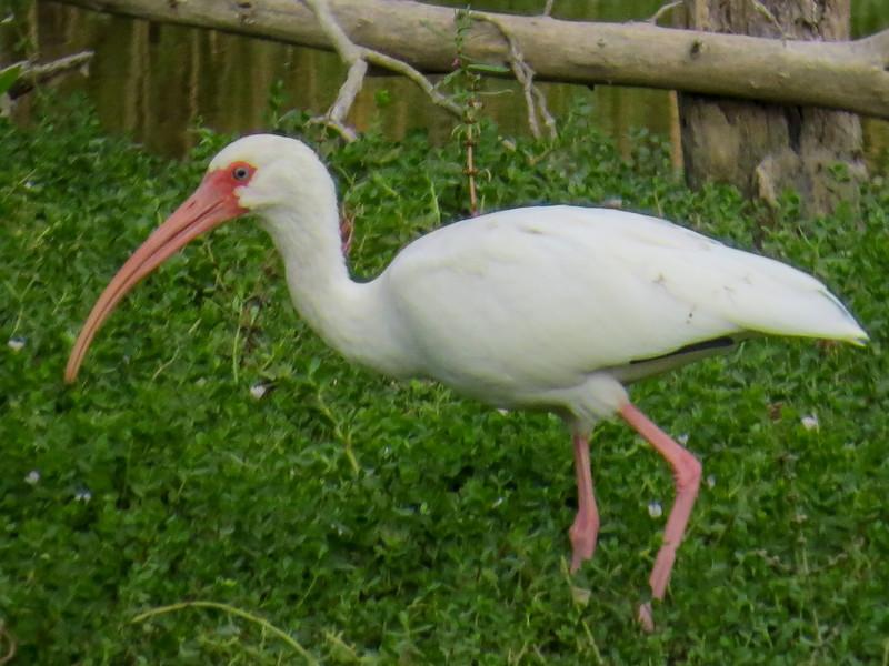 White Ibis, Estero Llano Grande World Birding Center, Weslaco TX