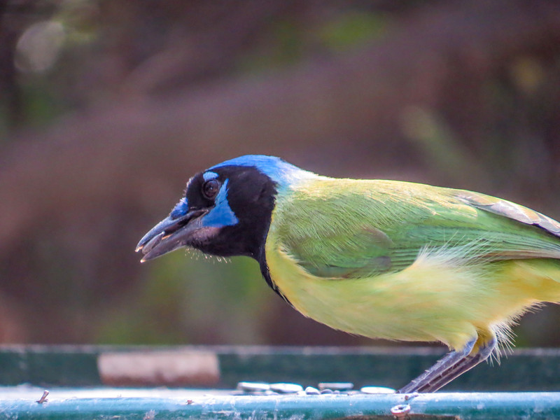 Green Jay, North American Butterfly Center, Mission TX