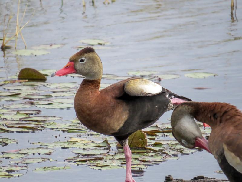 Black-bellied Whistling Duck, Estero Llano Grande World Birding Center, Weslaco TX