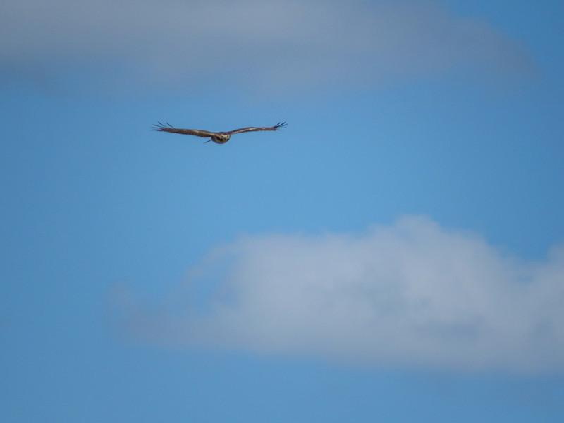 Im Red-tailed Hawk, Rio Hondo, TX