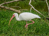 White Ibis, Estero Llano Grande World Birding Center, Weslaco TX