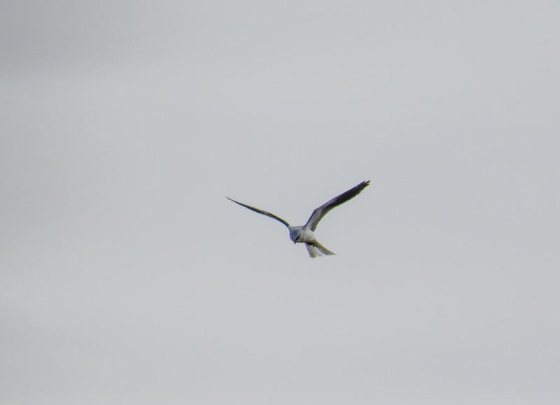 White-tailed Kite, Estero Llano Grande World Birding Center, Weslaco TX