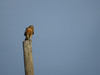 Red-shouldered Hawk, Rio Grande River, Mission TX