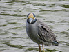 Yellow -crowned Night Heron, Estero Llano Grande World Birding Center, Weslaco TX