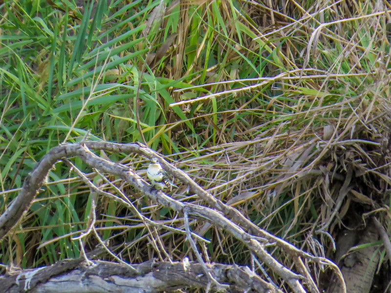 Green Kingfisher, Rio Grande River, Mission TX