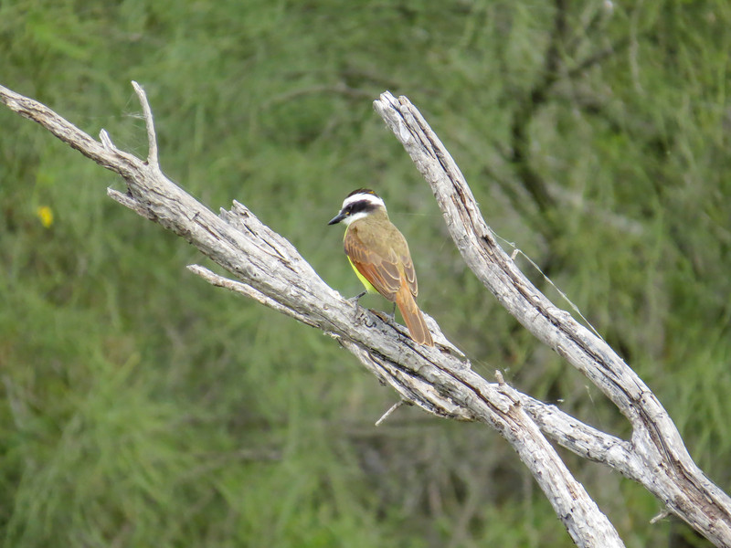 Great Kiskadee, Estero Llano Grande World Birding Center, Weslaco TX