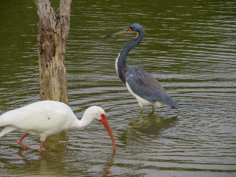 White Ibis and Tricolored Heron, Estero Llano Grande World Birding Center, Weslaco TX