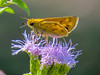 Firey Skipper, North American Butterfly Center, Mission TX