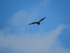 Turkey Vulture, Rio Hondo, TX