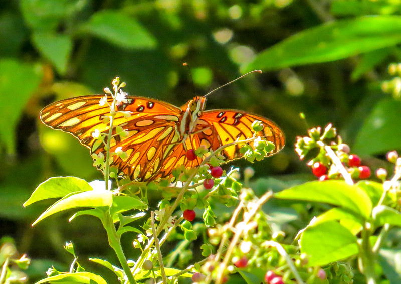 Gulf Fritillary, North American Butterfly Center, Mission TX