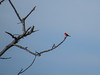 Vermillion Flycatcher, Rio Grande River, Mission TX