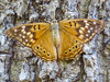 Hackberry Emperor, North American Butterfly Center, Mission TX