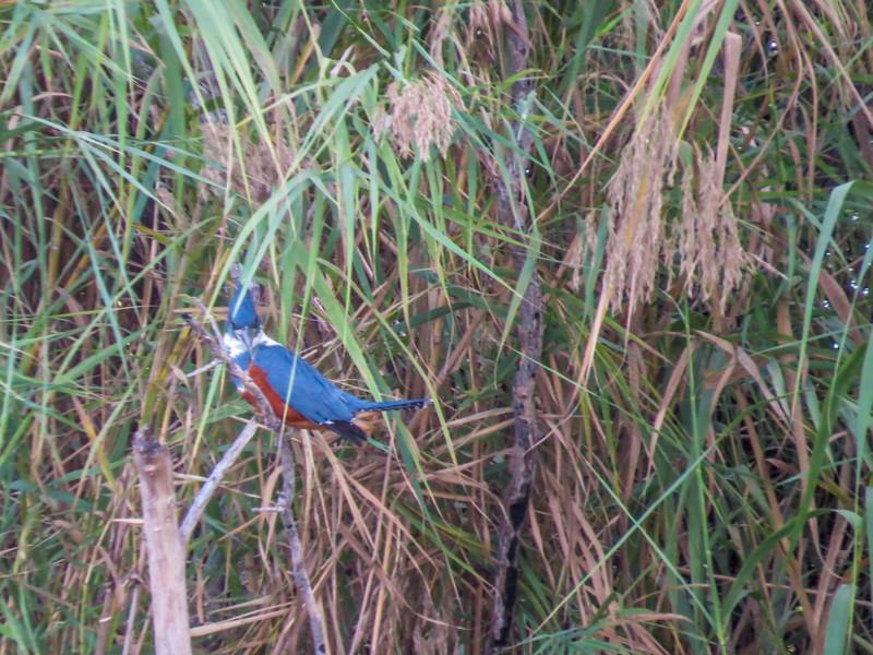Ringed Kingfisher, Rio Grande River, Mission TX