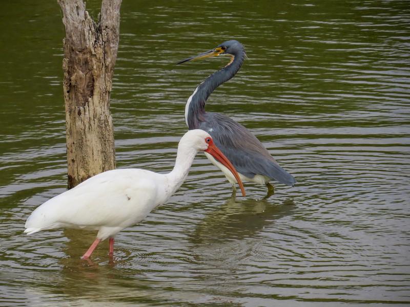 White Ibis and Tricolored Heron, Estero Llano Grande World Birding Center, Weslaco TX