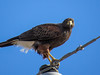 Harris Hawk, Old Port Isabella Rd, TX