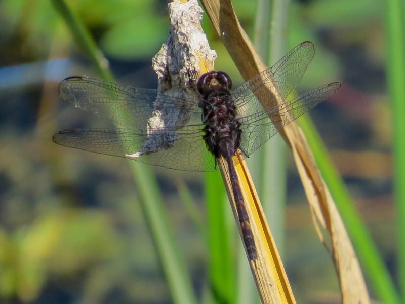 Pin-tailed Pondhawk, Estero Llano Grande SP / World Birding Center, Weslaco TX