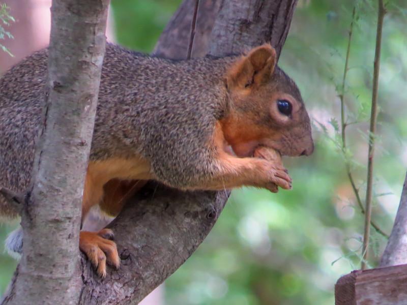 Red Squirrel, Quinta Mazatlan, McAllen TX