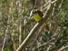 Great Kiskadee, Estero Llano Grande SP / World Birding Center, Weslaco TX