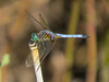 Blue Dasher, Estero Llano Grande SP / World Birding Center, Weslaco TX