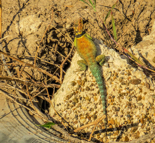 Texas Blue Spiny Lizard, Rio Grande River, Mission TX