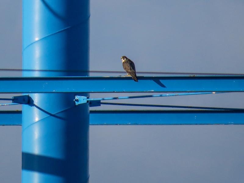 Perigrine Falcon, Old Port Isabella Rd, TX
