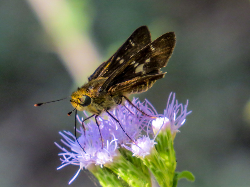 Violet Banded Skipper, North American Butterfly Center, Mission TX