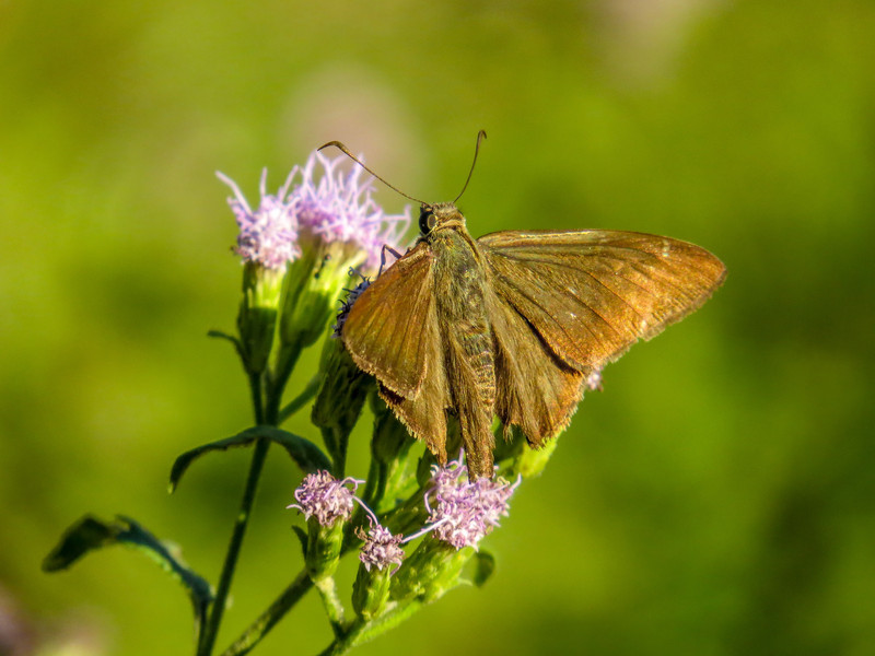 Minosa Skipper, North American Butterfly Center, Mission TX