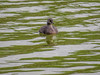 Least Grebe, Estero Llano Grande World Birding Center, Weslaco TX