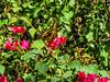 Giant Swallowtail, Quinta Mazatlan, McAllen TX