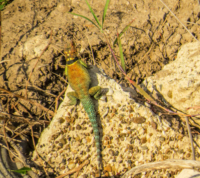Texas Blue Spiny Lizard, Rio Grande River, Mission TX