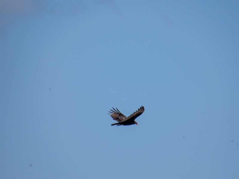 Turkey Vulture, Rio Hondo, TX