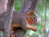 Red Squirrel, Quinta Mazatlan, McAllen TX