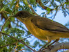 Clay-colored Robin, North American Butterfly Center, Mission TX