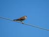 American Kestrel (fm), Rio Hondo, TX