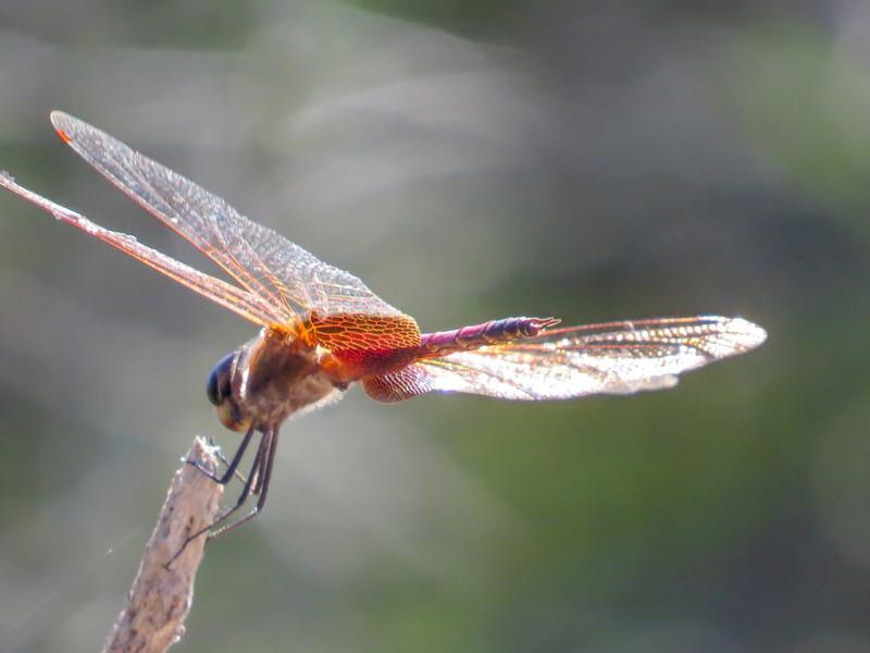 Red Saddlebags, Estero Llano Grande SP / World Birding Center, Weslaco TX