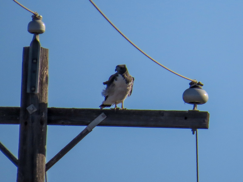 White-tailed Hawk, Old Port Isabella Rd, TX