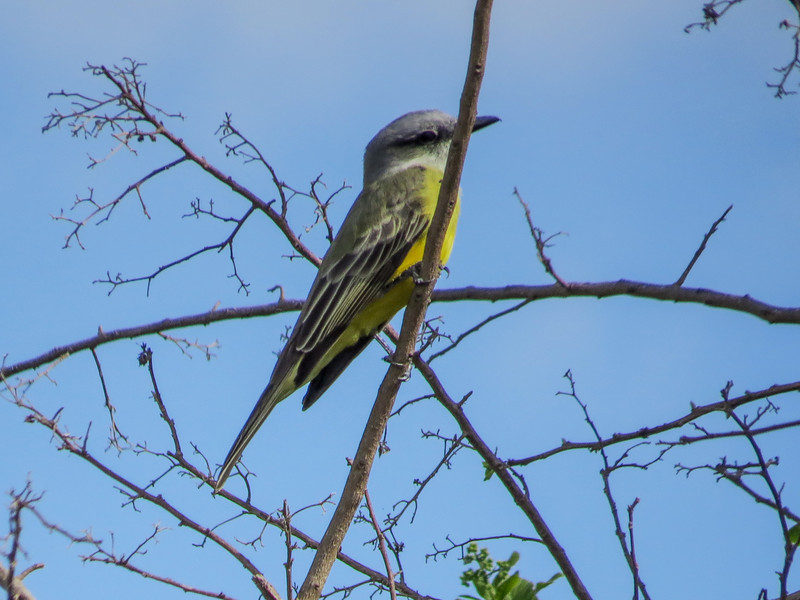 Tropical Kingbird, Quinta Mazatlan, McAllen TX