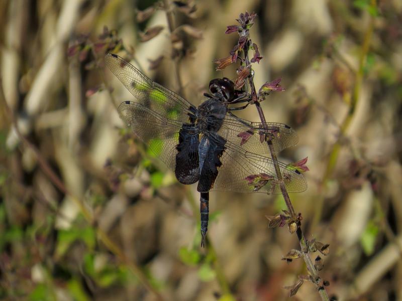 Black Saddlebags, Estero Llano Grande SP / World Birding Center, Weslaco TX