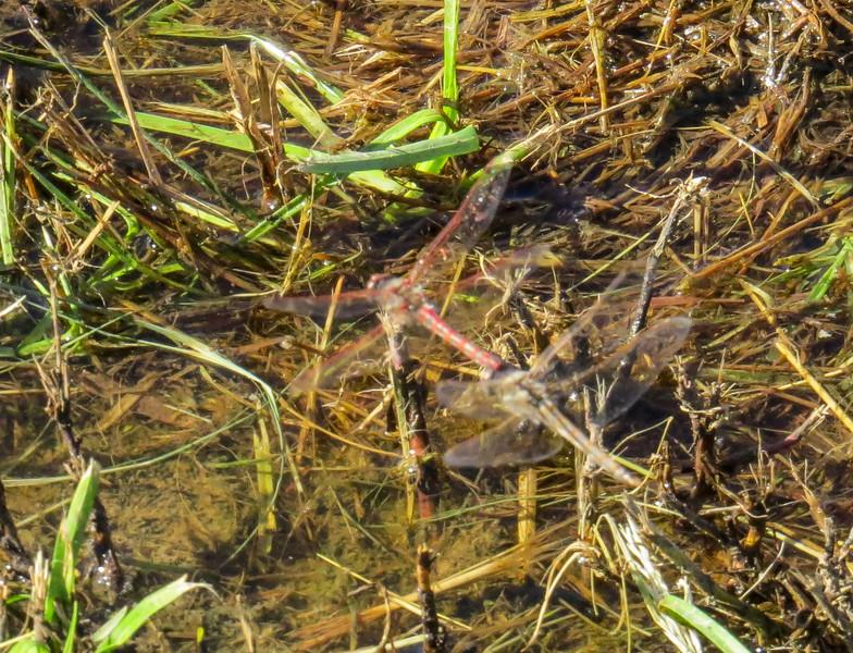 Varigated Meadowhawk, Estero Llano Grande SP / World Birding Center, Weslaco TX