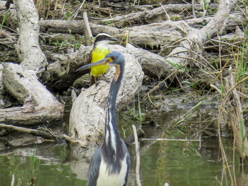 Kiskadee and Tricolored Heron, Estero Llano Grande World Birding Center, Weslaco TX