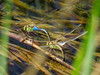 Green Darner, Estero Llano Grande SP / World Birding Center, Weslaco TX