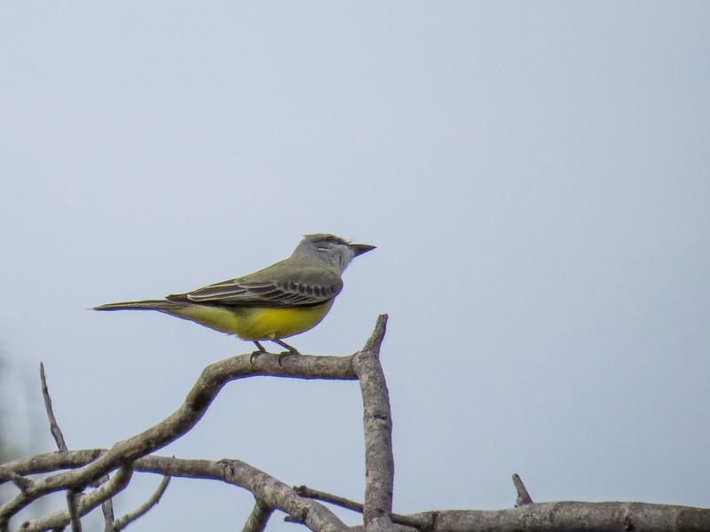 Tropical Kingbird, Estero Llano Grande World Birding Center, Weslaco TX