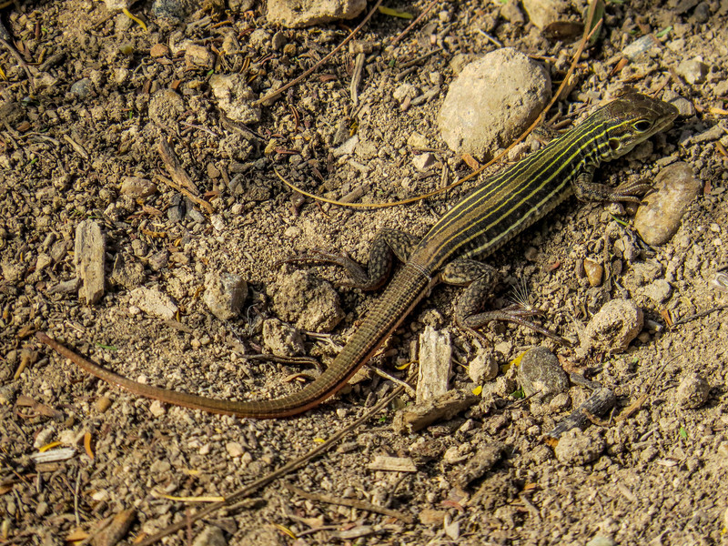 Texas Spotted Whiptail, North American Butterfly Center, Mission TX