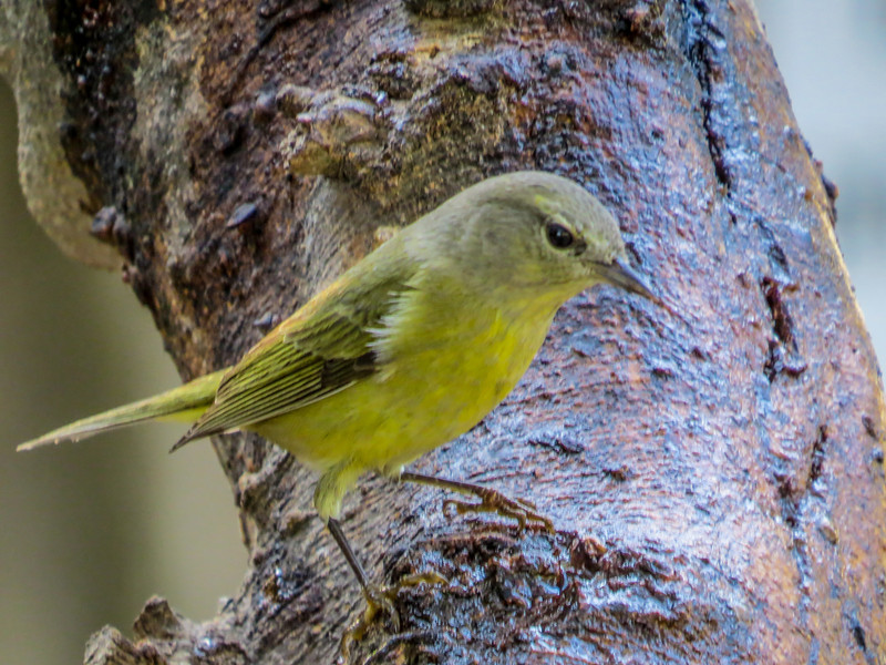 Orange-crowned Warbler, North American Butterfly Center, Mission TX