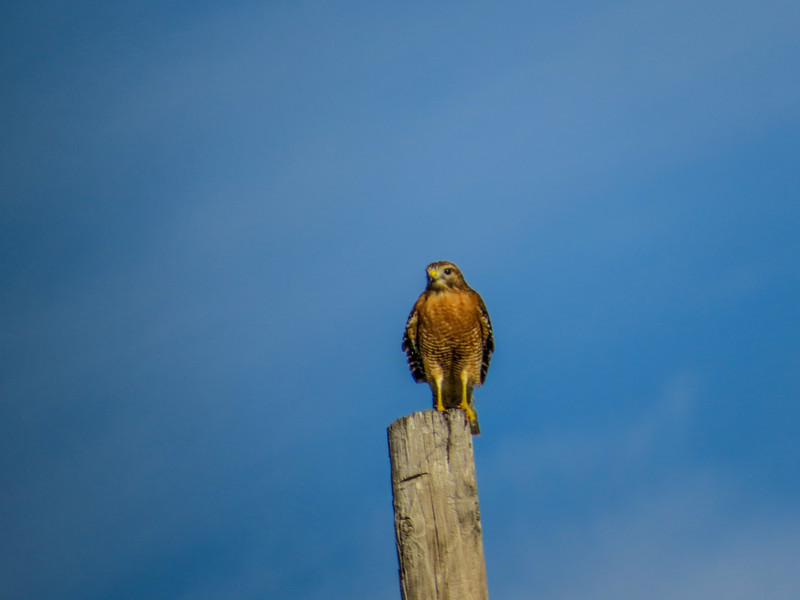 Red-shouldered Hawk, Rio Grande River, Mission TX