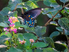 Pipevine Swallowtail, North American Butterfly Center, Mission TX