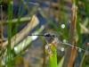 Thronbush Dasher, Estero Llano Grande SP / World Birding Center, Weslaco TX