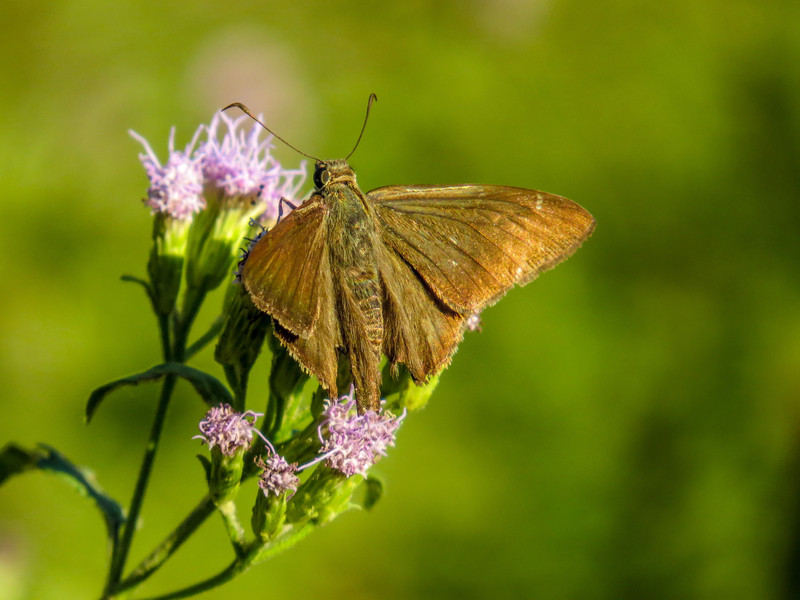 Mimosa Skipper, North American Butterfly Center, Mission TX