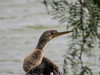 Anhinga, Estero Llano Grande World Birding Center, Weslaco TX